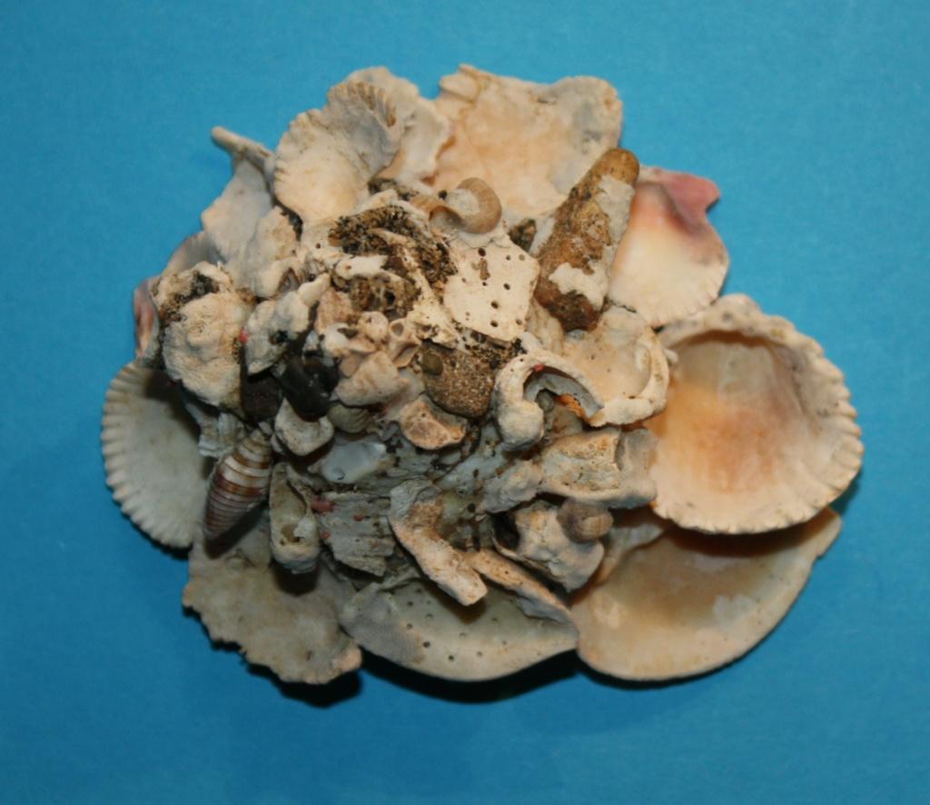 Xenophora robusta - Verrill, 1870 voir Xenophora conchyliophora - (Born, 1780) 5_sala10