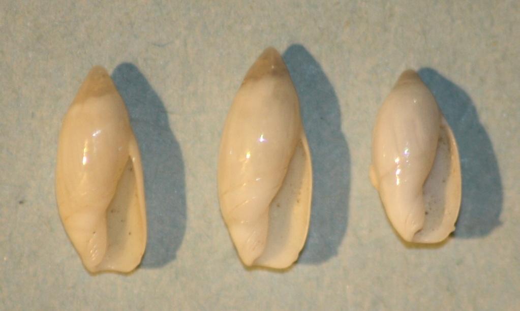 Ancilla cylindrica (Sowerby,1859) 6-anci11