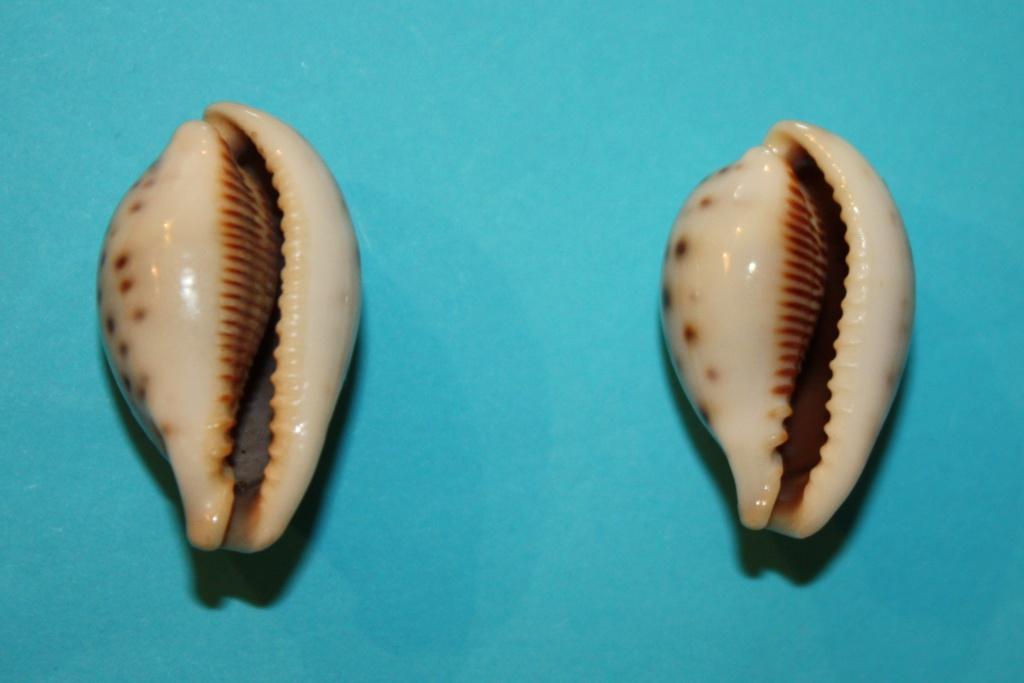 Erronea pyriformis - (Gray, 1824) 6-erro10