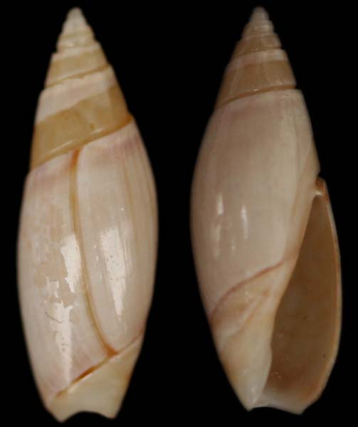 Olivella fulgurata (A.Adams & Reeve, 1850) 6-oliv11
