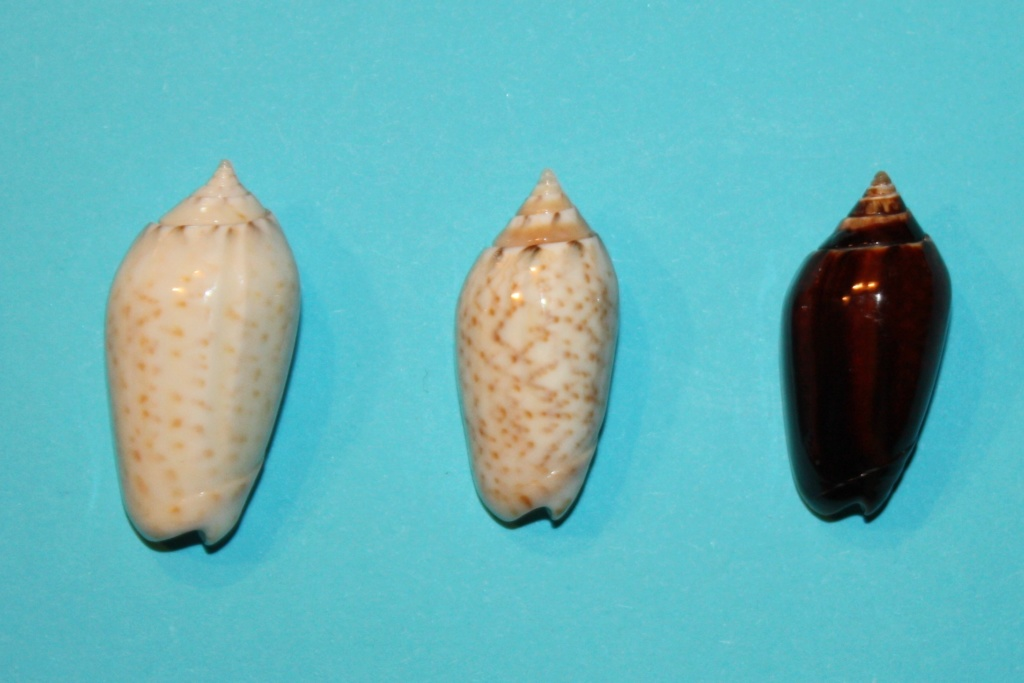 Americoliva pindarina (Duclos, 1840) 6-righ10
