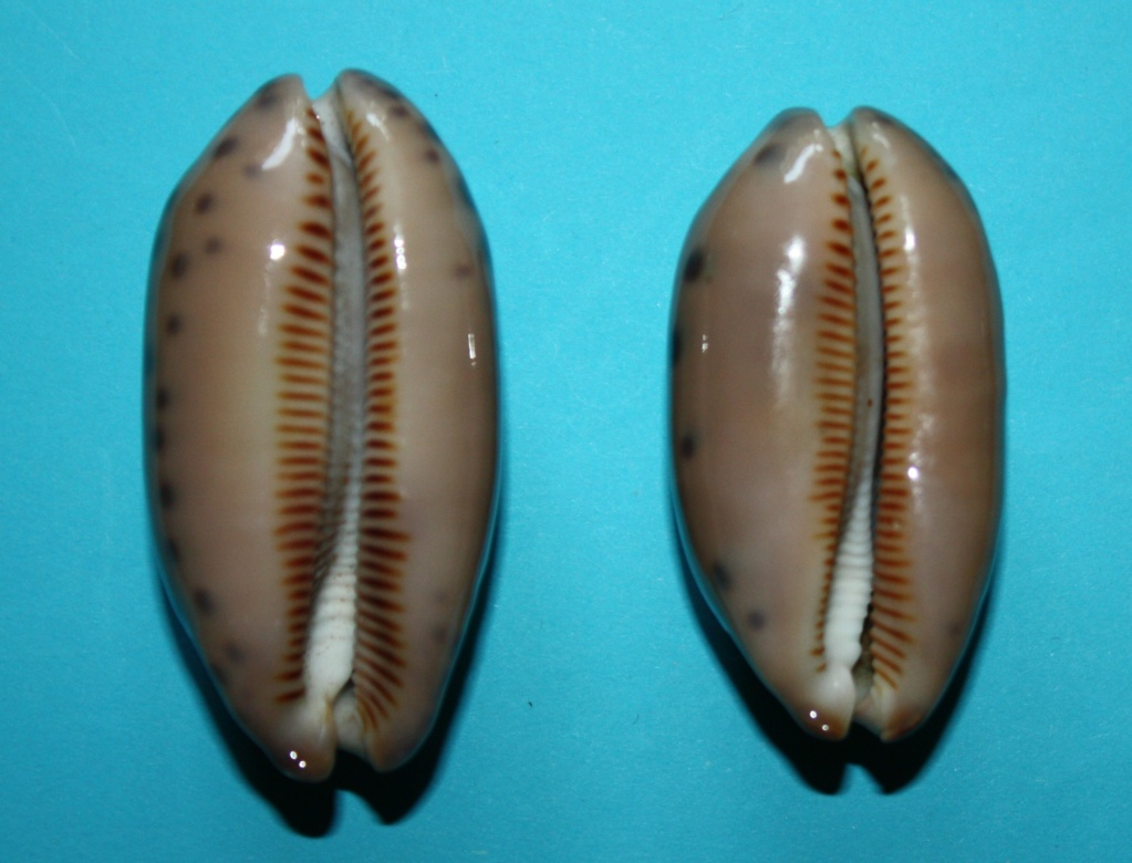 Mauritia scurra scurra - (Gmelin, 1791)  615