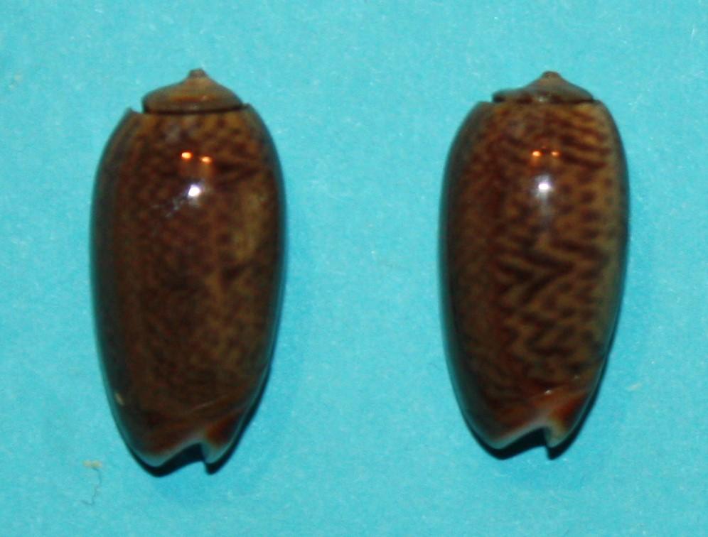 Carmione dactyliola (Duclos, 1835) 621