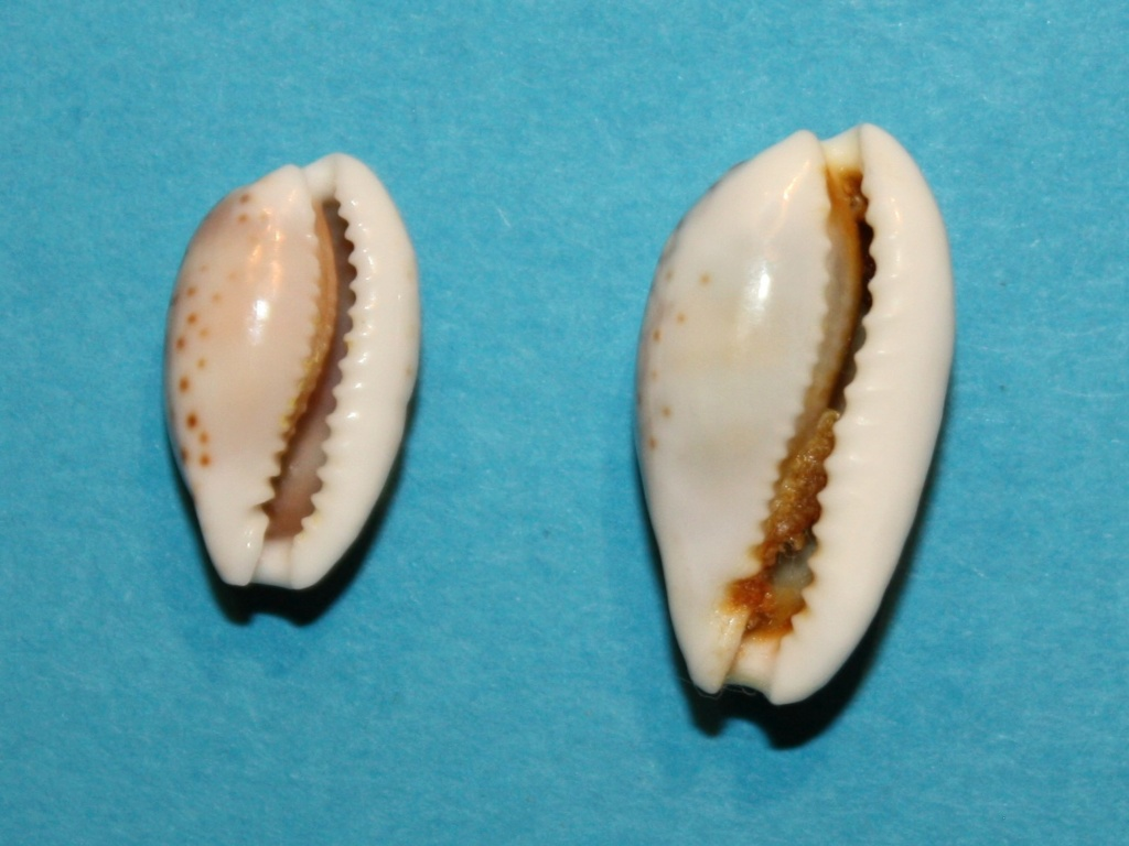 Cribrarula esontropia cribellum - (Gaskoin, 1849) - Page 2 635