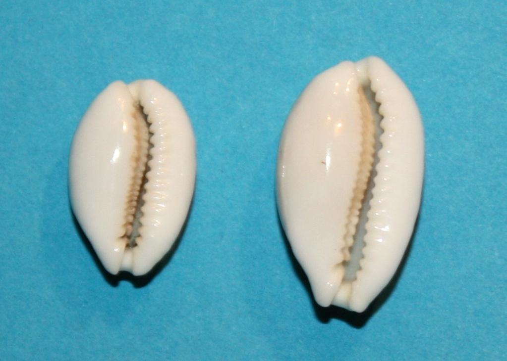 Cribrarula abaliena australiensis Lorenz, 2002 638