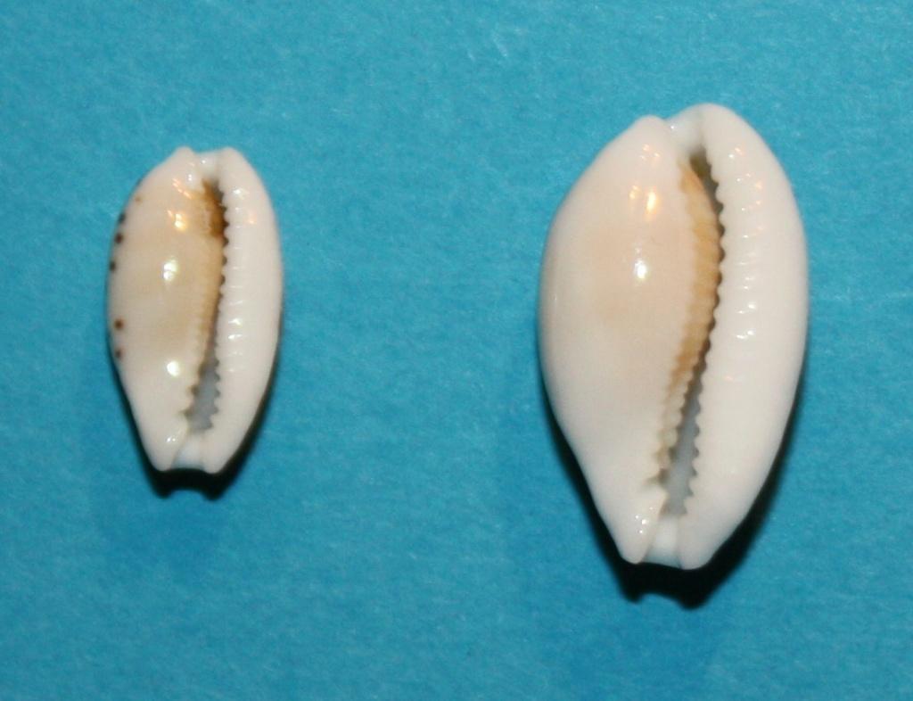 Cribrarula taitae - (Burgess, 1993) 639