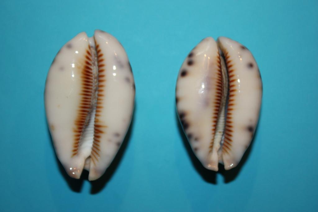 Mauritia histrio - (Gmelin, 1791) - Page 4 6_righ10