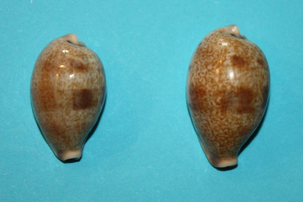 Erronea pyriformis - (Gray, 1824) 7-erro10