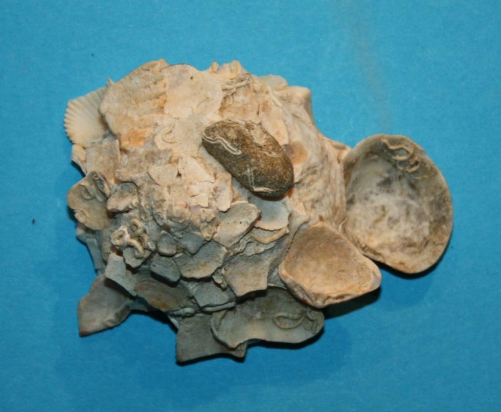 Xenophora tulearensis Stewart & Kosuge, 1993 voir. Xenophora (Xenophora) corrugata (Reeve, 1842) 7-isla10