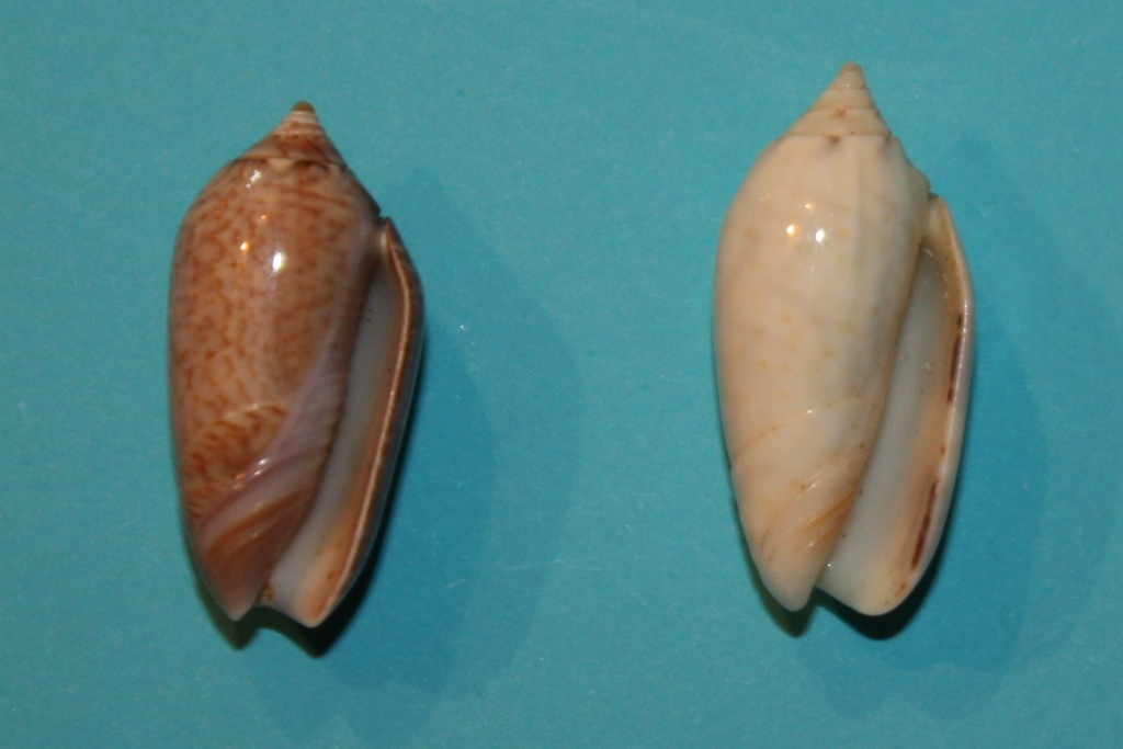 Americoliva pindarina (Duclos, 1840) 7-left10