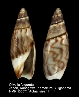 Olivella fulgurata (A.Adams & Reeve, 1850) 7-oliv11