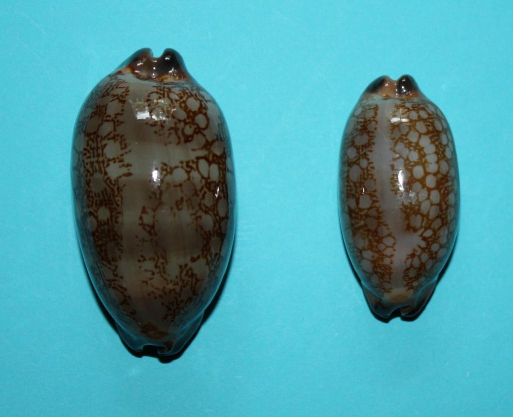 Mauritia scurra scurra f. hivaensis (Lorenz 2017) 713
