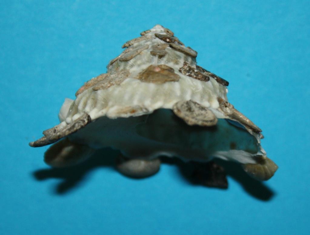 Xenophora tenuis - Fulton, 1938 719