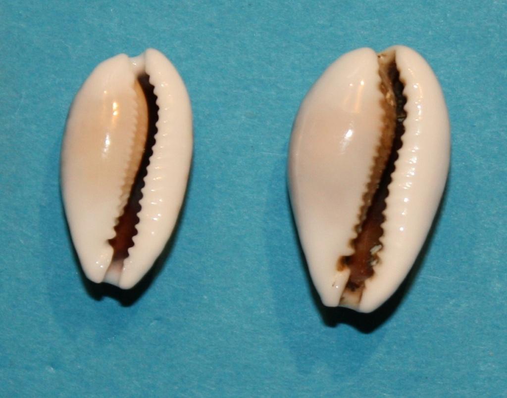 Cribrarula esontropia francescoi - Lorenz, 2002 - Page 2 723