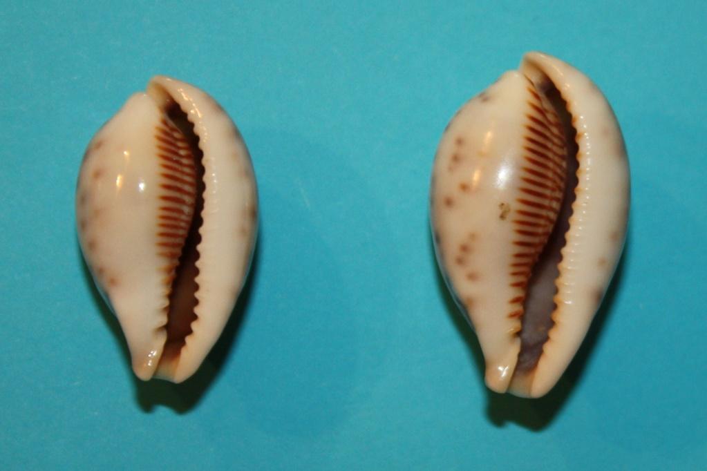 Erronea pyriformis - (Gray, 1824) 8-erro10