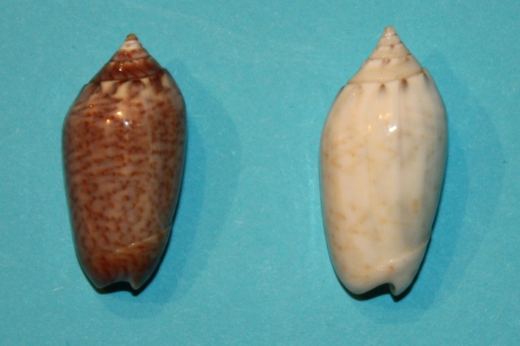 Americoliva pindarina (Duclos, 1840) 8-righ10