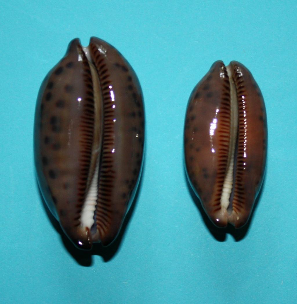 Mauritia scurra scurra f. hivaensis (Lorenz 2017) 814