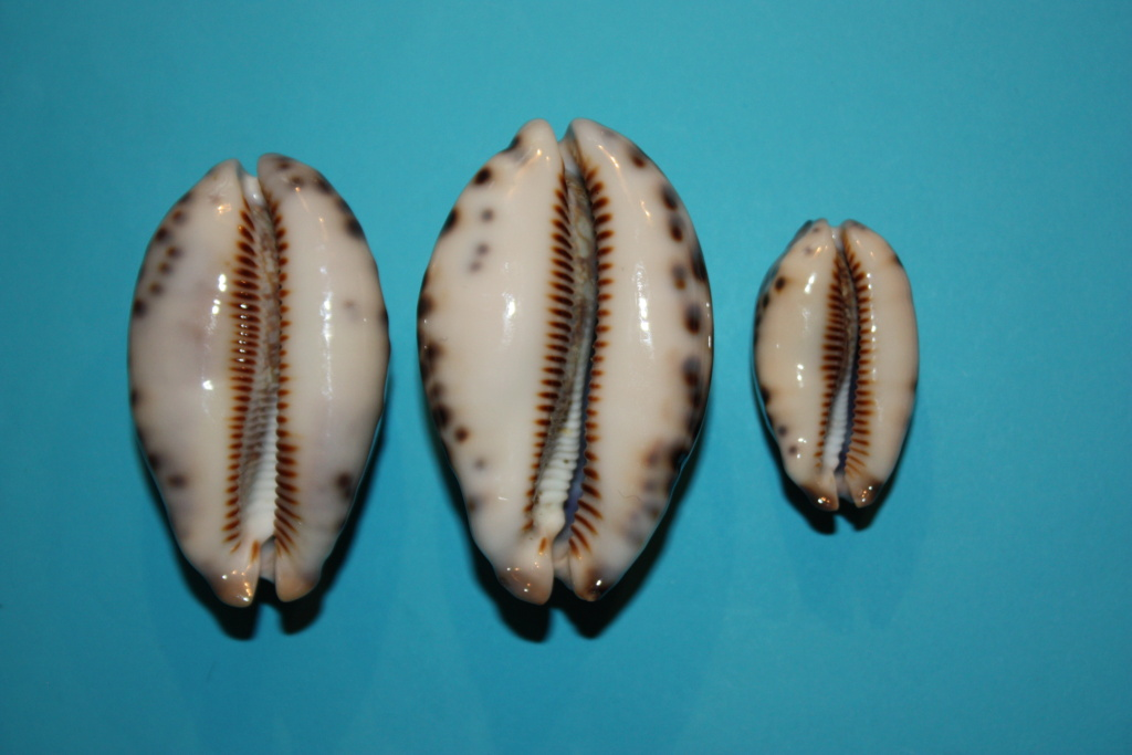Mauritia histrio - (Gmelin, 1791) - Page 4 8_righ10