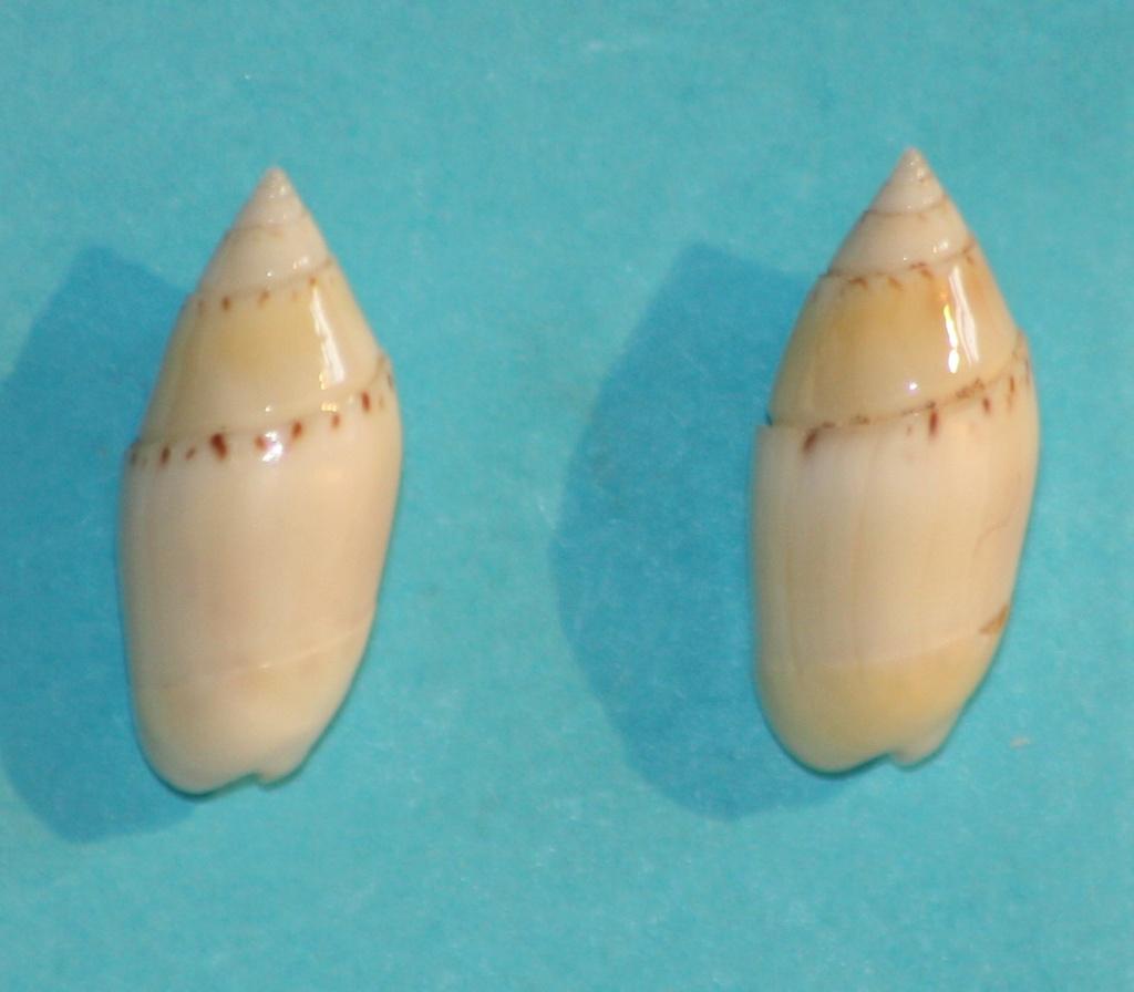 Olivella dealbata - (Reeve, 1850)  voir Dactylidia mica (Duclos, 1835) 8_righ11