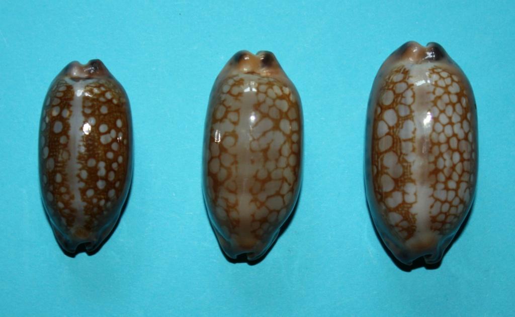 Mauritia scurra mundula - Lorenz, 2002  voir  Mauritia scurra scurra - (Gmelin, 1791) 912