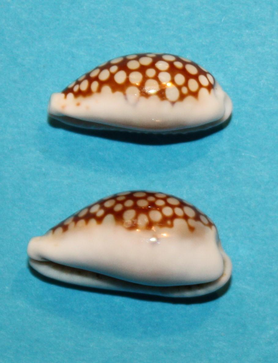 Cribrarula esontropia francescoi - Lorenz, 2002 - Page 2 920
