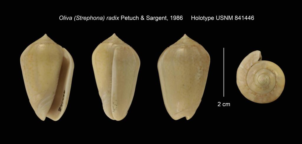 Americoliva polpasta radix (Petuch & Sargent, 1986) _origi10