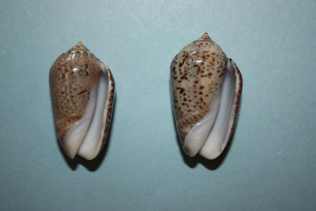 Americoliva polpasta (Duclos, 1833) Americ10