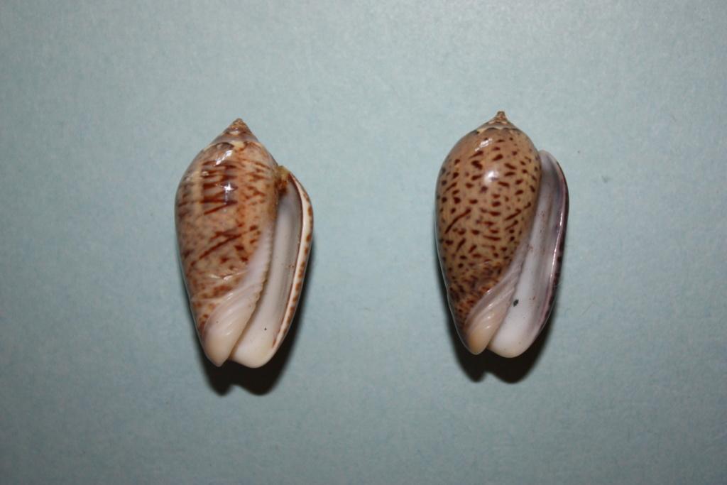Americoliva polpasta (Duclos, 1833) Americ12