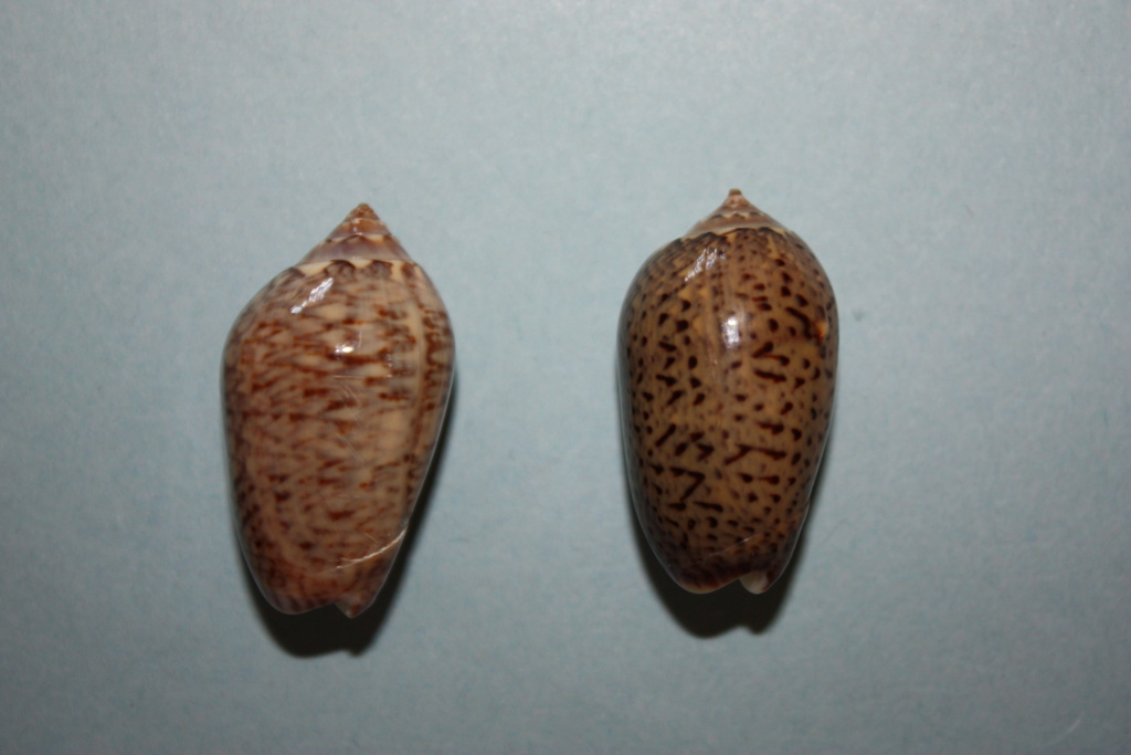 Americoliva polpasta (Duclos, 1833) Americ13