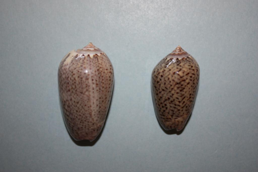 Americoliva polpasta radix (Petuch & Sargent, 1986) Americ17