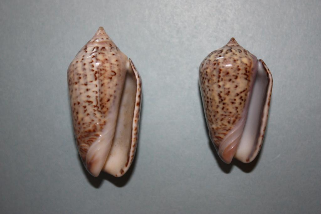 Americoliva subangulata subangulata (Philippi, 1848) Americ18