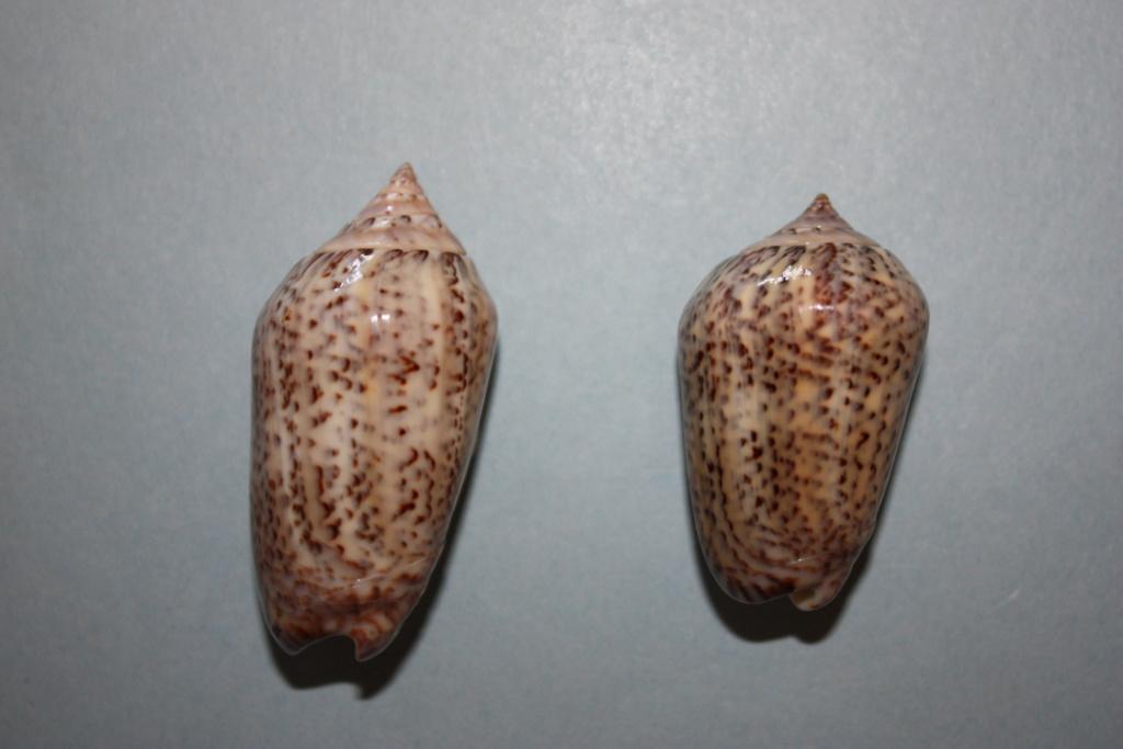 Americoliva subangulata subangulata (Philippi, 1848) Americ19