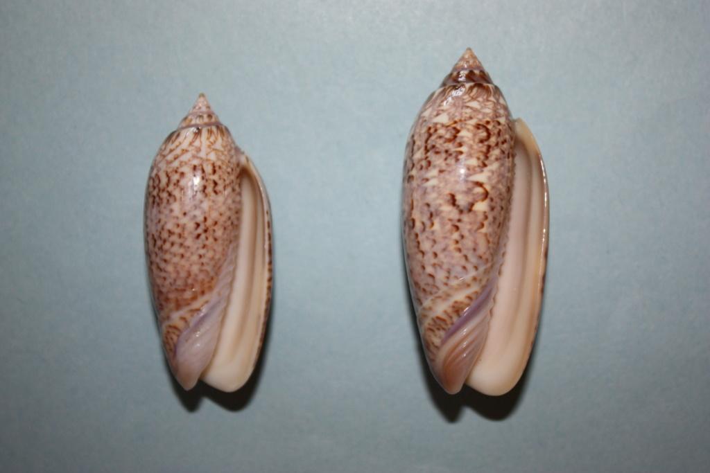 Americoliva spicata deynzerae (Petuch & Sargent, 1986) Americ20