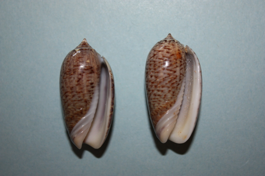Americoliva truncata (Marrat, 1867) Americ24