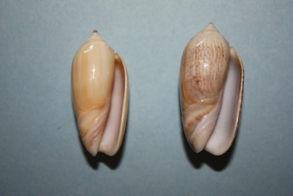 Americoliva venulata (Lamarck, 1811) Americ26