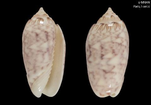 Americoliva reticularis lilacea (Paulmier, 2013) Americ29