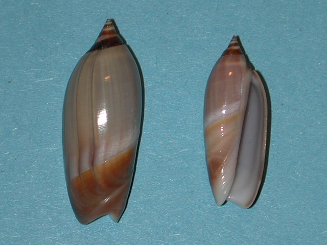 Agaronia johnkochi - Voskuil, 1990 Anazol10