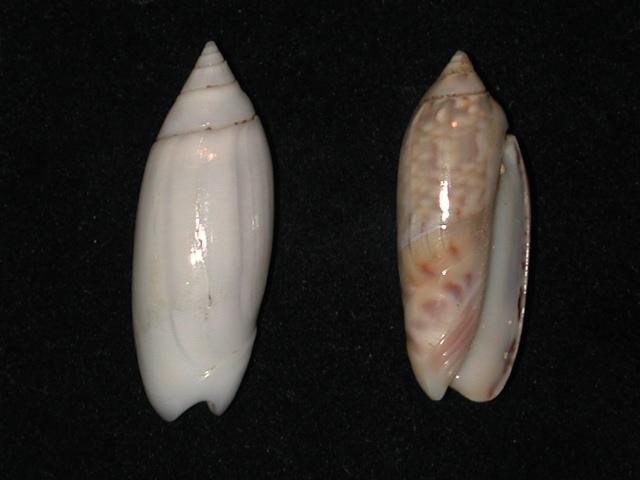 demander l'authenticité des coquilles olividae Anazol11