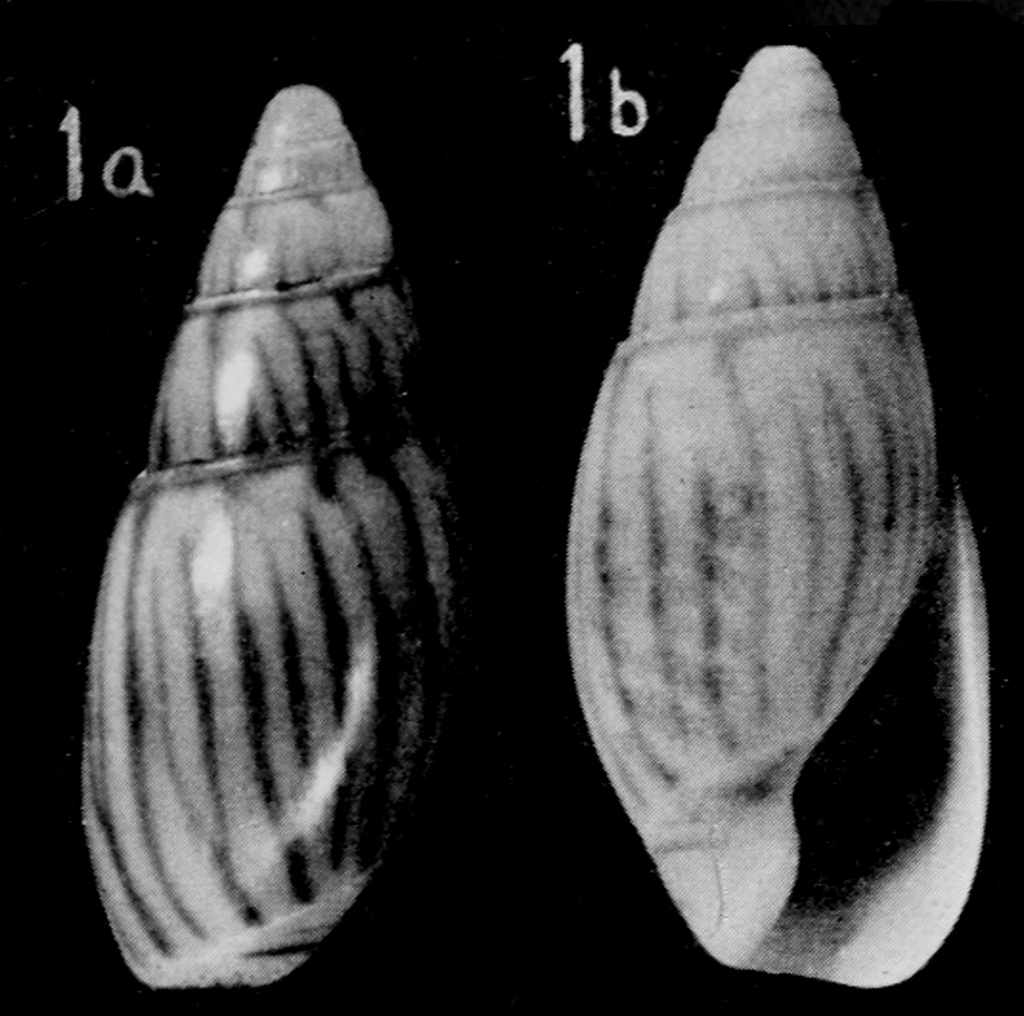 Olivella moorei Abbott, 1951 ou Callianax moorei Abbott, 1951 Callia10