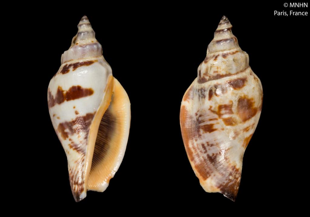 Canarium anatellum - (Duclos, 1844) Canari10