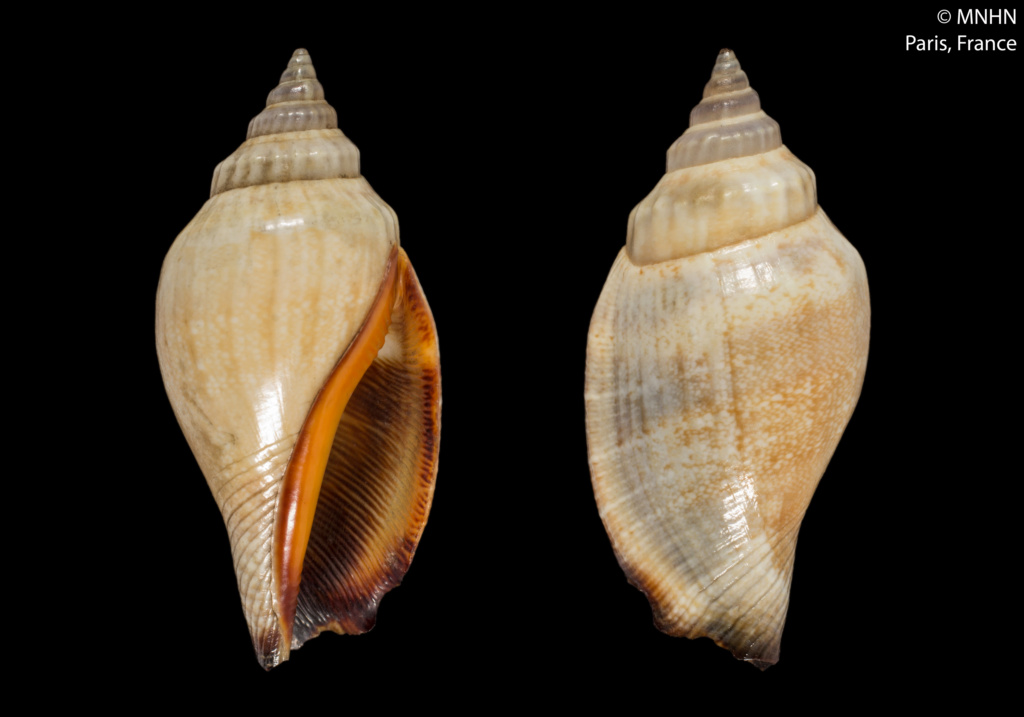 Canarium anatellum - (Duclos, 1844) Canari12