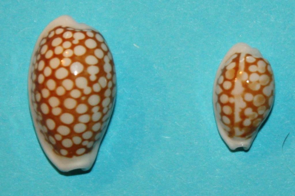 Cribrarula cribraria ganteri - Lorenz, 1997 - Page 2 Cribra10