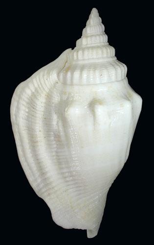 Dolomena columba lorenzi - T. Cossignani, 2020 Dolome11