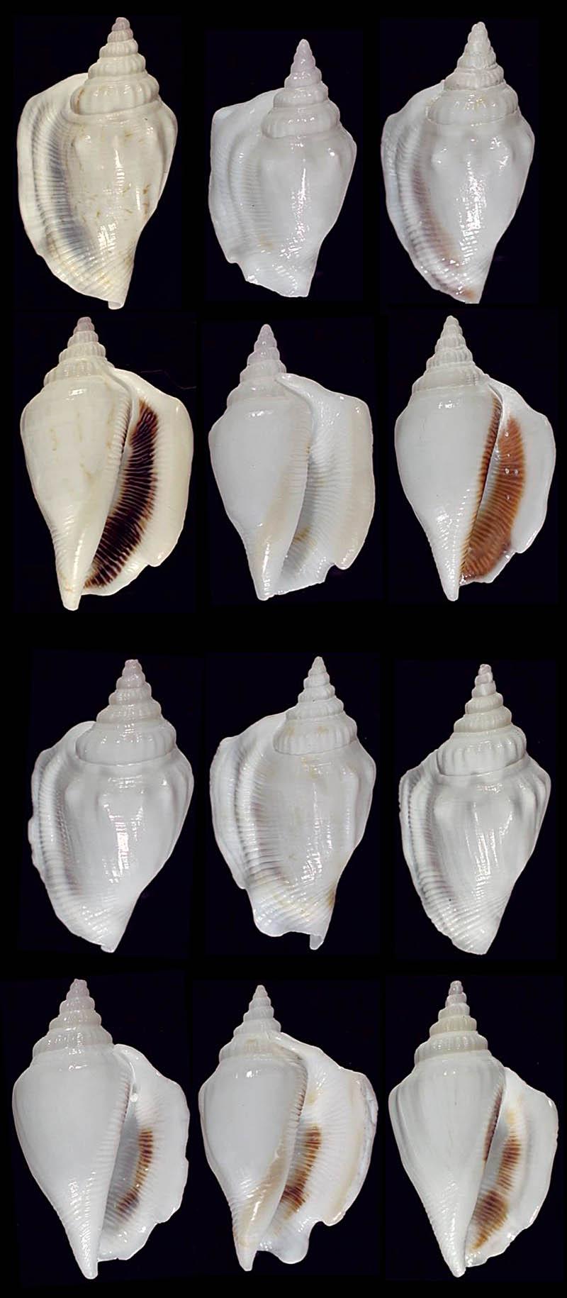 Dolomena columba lorenzi - T. Cossignani, 2020 Dolome12