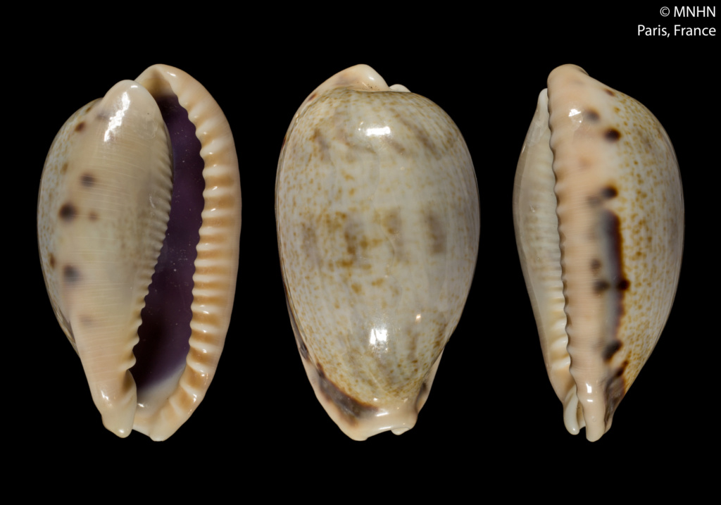 Erronea caurica (Linnaeus ,  1758) sous-espèces Errone10