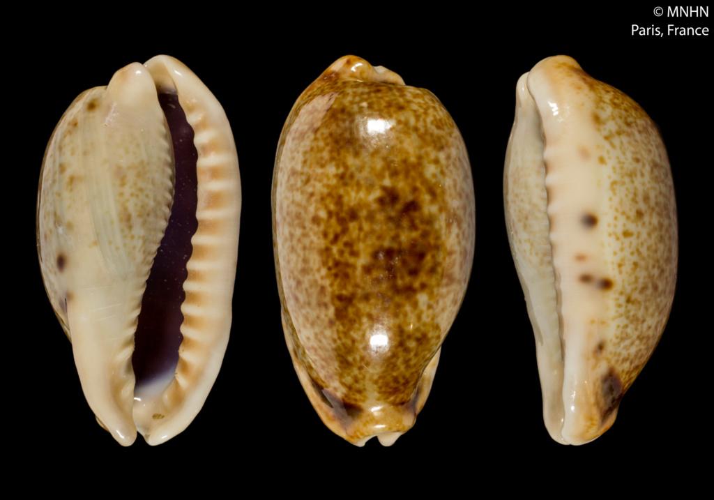 Erronea caurica (Linnaeus ,  1758) sous-espèces Errone11