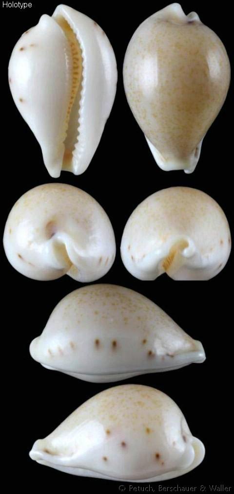 Erronea garyi Petuch,  Berschauer & D.B. Waller,  2019 Errone16