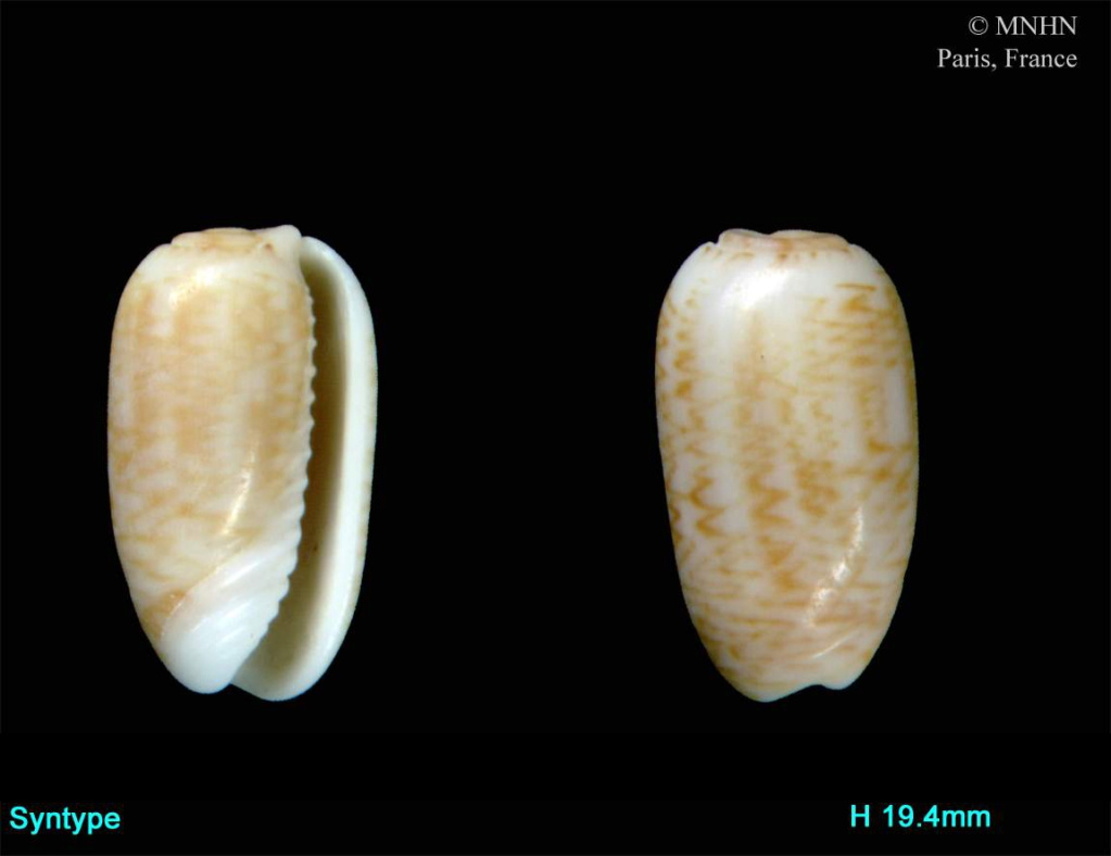 Galeola athenia (Duclos, 1840) Galeol10