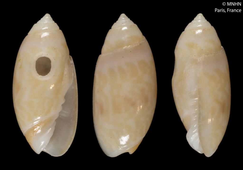 Olivella intermedia (Paulmier, 2015) Holoty11
