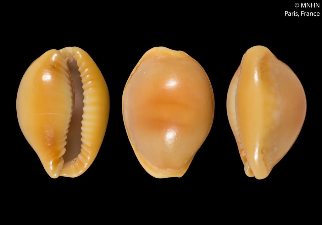 Naria citrina dauphinensis - Lorenz, 2002 Holoty11